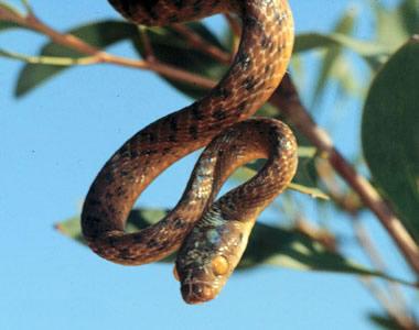 brown_tree_snake