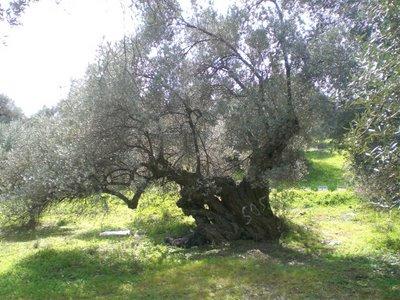 Το Ιερό δένδρο της Αθηνάς